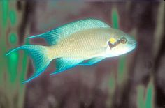 Fairy Cichlid, Neolamprologus brichardi, Brichardi Cichlid, Lyretail Cichlid, Princess of Burundi