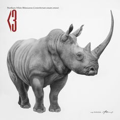 Northern White Rhinocerous - Charcoal on canvas.  The Northern White Rhinoceros have been residing on this planet for the past 15 million years. Now, there are 3 left.