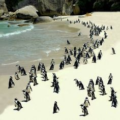 Not all penguins live in the arctic. These beach lovers are South African Penguins. The Boulders Pinguine Simons' Town South Africa b. Paises Da Africa, Out Of Africa, South Africa, Oh The Places You'll Go, Places To Travel, Places To Visit, Boulder Beach, Bali, Thinking Day