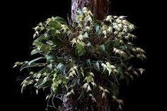 micro orquídea anathallis dryadum