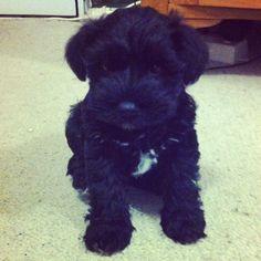 Poppy-Mae, our little black miniature  Schnauzer.