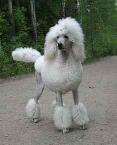 White Standard Poodle   Kennel Dancefloor's Standard Poodles