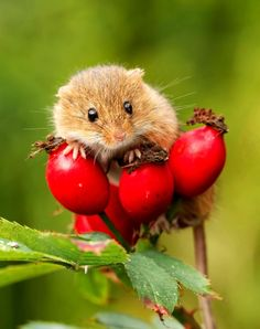 Fall or Thanksgiving Harvest Mouse (Micromys minutus) by Paul Lathbury on Nature Animals, Woodland Animals, Animals And Pets, Baby Animals, Funny Animals, Hamsters, Rodents, Cute Creatures, Beautiful Creatures