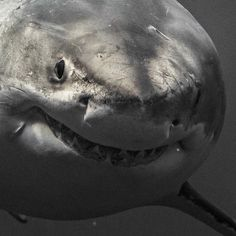 Brit photographer takes incredible up close and personal pics with massive great white sharks – The Sun Cool Sharks, Cute Shark, Baby Shark, Whale Sharks, Funny Sharks, Great White Shark Attack, Baby Great White Shark, Orcas, Shark Photos