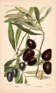 1897 olives original antique botanical fruit print