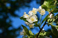 Jasmiini ja sinitaivas | Vesan viherpiperryskuvat – puutarha kukkii