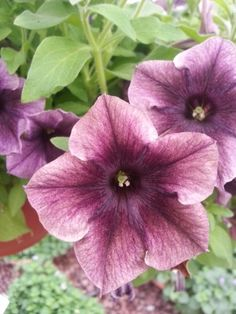 Petunia Happy Magic Black Caramel Star