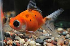 """<3 Fat """"fancy"""" goldfish <3"""