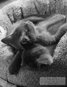 Best Pillow Ever!  Charlie & Jimmy, two Russian Blue kittens snuggling during a nap.