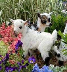 "* * "" Weez often stops ands smellz de flowers, ands eats dem too - dat's whys der's nuthin' left fer yoo. Baa-haa!"""