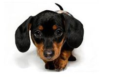 Finest mini dachshund puppies in Westchester New York from reputable breeders. Miniature dachshund puppies in Westchester, NY, NJ, Long Island and NYC area. Teacup Dachshund, Black Dachshund, Dachshund Puppies For Sale, Funny Dachshund, Mini Dachshund, Toy Puppies, Cute Puppies, Dogs And Puppies, Daschund