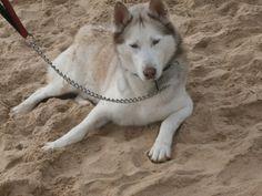 Husky Siberiano,  Nilo,  mascotas en la playa,  perros