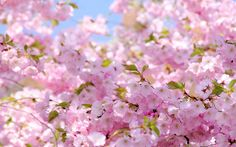 blossom image free hd widescreen - blossom category