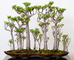 Gorgeous Crassula grown as a bonsai forest. Go to site for other techniques for creating a bonsai Jade plant. Jade Plant Bonsai, Succulent Bonsai, Jade Plants, Bonsai Plants, Bonsai Garden, Cacti And Succulents, Planting Succulents, Planting Flowers, Bonsai Trees