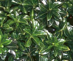 Pachysandra-terminalis-Green-Sheen-Schaduwkruid - Deze groenblijvende bodembedekker wenst schaduw. Kleur wit. Bloeitijd april-mei. Hoogte 20cm. Standplaats schaduw. 9 planten per meter. Groenblijvend