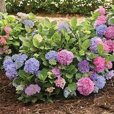 L.A. Dreamin TM Mophead Hydrangea Hydrangea macrophylla ; no pruning needed; good in zone 10. $43.98 for 1 quart pot
