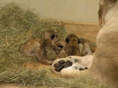 Seen in comparison, Kiki's paw gives a sense of her babies' size! African lion cubs born November 19, 2013, at Zoo Atlanta. #CutenessZooATL