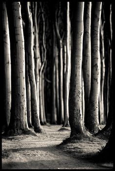 """Ghost Forest or Spooky Forest, well known in north of Germany as  """"Gespensterwald"""" - Baltic Sea Coast near Rostock, Northern  Germany"""