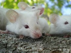 Close up - Three white Siamese Mice are laying on a tree and they are looking to the right.