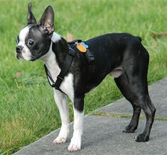 Talks about all you need to know about boston terriers