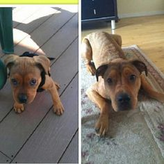 pitbull mix growing up too fast