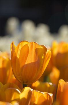 https://flic.kr/p/jBfPXW | winter tulip