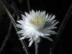 Queen of the Night -- blooms once a year-  Cereus