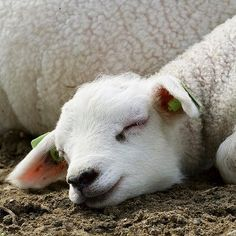 Therefore my heart is glad, and my glory rejoiceth: my flesh also shall rest in hope. Happy Animals, Cute Baby Animals, Farm Animals, Animals And Pets, Sheep And Lamb, Sheep Farm, The Good Shepherd, Baby Goats, Vegan Animals