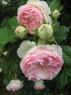 Le célèbre rosier Pierre de Ronsard n'est pas ancien mais il dégage un tel charme...  Obtenu en 1986 par Meilland, c'est un petit grimpant aux grosses fleurs et boutons adorables teintés de jaune, vert pâle et rose timide. Son parfum est léger entre la pomme et la mousse des sous bois. Remontant et très florifère, ce rosier est une merveille.