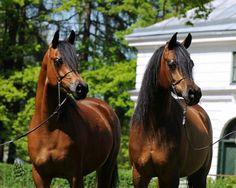 Pinga and Pianissima arabian horses Janów Podlaski, Poland