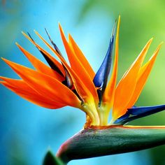 47 Meilleures Images Du Tableau Oiseau Paradis Exotic Flowers