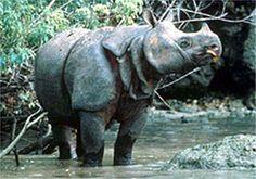 The Javan rhinoceros or lesser one-horned rhinoceros is a member of the family Rhinocerotidae and one of five extant rhinoceroses.