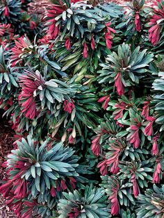 Euphorbia 'Jade Dragon'an evergreen perennial with red-purple leaves in the spring that gradually turn blue-green as they mature. Plus, this colorful plant sends up huge, chartreuse flower heads in mid to late summer.