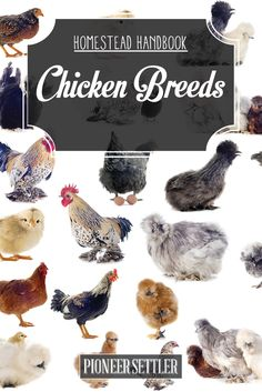 If you plan on raising backyard chickens you should consider the chicken breeds before you buy. Learn more about chicken breeds in our Homestead Handbook. Raising Backyard Chickens, Keeping Chickens, Backyard Farming, Chickens And Roosters, Pet Chickens, Fancy Chickens, Types Of Chickens, Building A Chicken Coop, Diy Chicken Coop