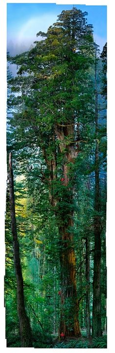 Giant Redwood Forest- California, look how tiny the man looks by it!