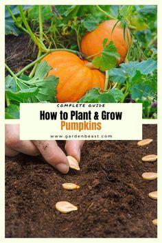 Grow Pumpkins From Seeds, Planting Pumpkin Seeds, When To Plant Pumpkins, Pumkin Seeds, Pumpkin Garden, Growing Pumpkin Seeds, How To Grow Pumpkins, Pumpkin Plants, Growing Plants From Seeds