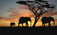 Elephant and tree silhouette with sunset African Animals, African Elephant, African Art, Elephant Silhouette, Animal Silhouette, Elephant Wallpaper, African Sunset, Elephant Love, Elephant Talk