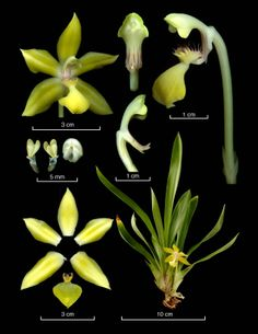 Huntleya citrina - From: Epidendra - The Global Orchid Taxonomic Network