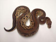 Cinnamon Clown Python Royal, Beautiful Creatures, Animals Beautiful, Python Regius, Super Snake, Ball Python Morphs, Corn Snake, Snake Art, Python Snake