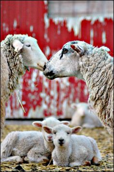 Sheep Family Portrait | Content in a Cottage