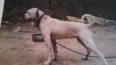 Pedigree information about the American Bulldog LeClerc's Lethal Lizzy American Bulldogs, Labrador Retriever, Animals, Labrador Retrievers, Animales, Animaux, Animal, Animais, Labrador