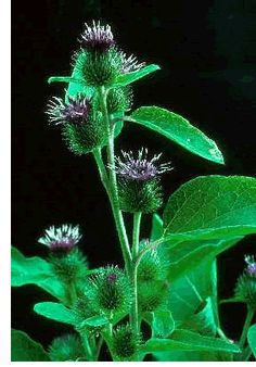 Wild Foods for Wise Women By Susan Weed - burdock, yellow dock, red clover, dandelion, violet, plantain