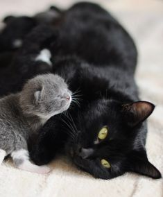 "Sleek black mama and grey or ""blue"" kitten. The blue gene is the dilute color of the black color gene and is recessive."