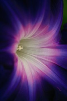 morning glory (macro)
