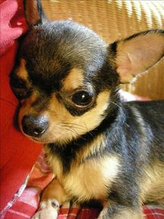 Chihuahuas, French Bulldog, Dogs, Animals, Animales, Animaux, Chihuahua Dogs, French Bulldog Shedding, Pet Dogs