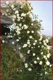 Imagine all the beauty of Eden Climbing Rose in a soft white color! Here it is with its ruffly romantic blooms and excellent disease resistance. Want to grow Eden but need a white flower in that special spot? White Eden is your rose! White Roses, White Flowers, Eden Rose, Cottage Garden Plants, Cottage Gardens, Rose Garden Design, Pinterest Garden, Colorful Roses, Climbing Roses