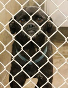 Pug mix male 1-2 years old Kennel A14 Available NOW! $51 to adopt   Located at Odessa, Texas Animal Control. 432-368-3527.