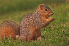 Cruzin Canines Photography posted a photo:  Fox Squirrel photo.