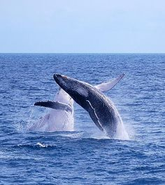 Double breach! #amazing #whalewatching #herveybay