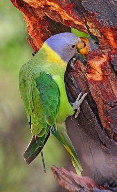 Plum-headed Parakeet (Psittacula cyanocephala) feeding young in India (by Sharad Agrawal).